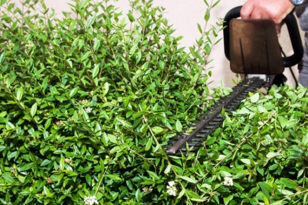 hedge cutting and reduction